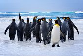 stock photo of falklands  - King Penguins heading to the water in the Falkland Islands - JPG