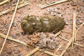 image of excrement  - Close up goat excrement with flies on ground - JPG