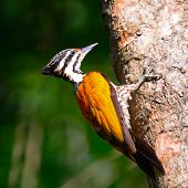 picture of woodpecker  - Beautiful woodpecker bird a female of Common Flameback (Dinopium javanense) taken in Thaland ** Note: Soft Focus at 100%, best at smaller sizes - JPG