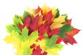 image of splayed  - Autumn coloured leaves splayed on a white background - JPG
