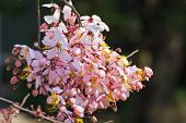 picture of cassia  - Wishing tree - JPG
