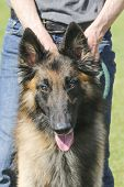 stock photo of herding dog  - A belgian tervuren herding dog waiting to show off his herding skills - JPG