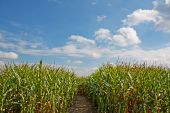 foto of zea  - Path through a field of corn  - JPG