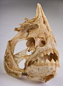 image of piranha  - Real Piranha skeleton from the Amazon river - JPG