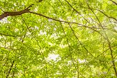 picture of linden-tree  - Bright light streaming through the green linden leaves - JPG