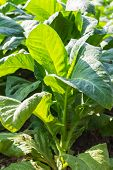 image of tobacco barn  - Tobacco Plants  - JPG