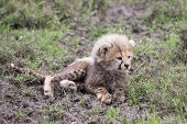stock photo of cheetah  - Cheetah Cub With Mother In Serengeti National Park - JPG