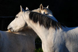 picture of dapple-grey  - Two dapple grey horse friends grooming each other - JPG