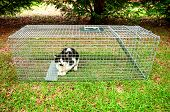 stock photo of animal cruelty  - Cat trapped in a humane non lethal animal trap - JPG