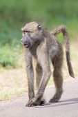 pic of anubis  - Baboon walking along a road looking for trouble in nature - JPG