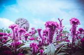stock photo of celosia  - Red Celosia or Wool flowers or Cockscomb flower in the garden or nature park vintage