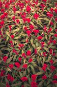 picture of celosia  - Red Celosia or Wool flowers or Cockscomb flower in the garden or nature park vintage - JPG