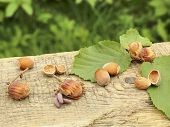 picture of hazelnut tree  - Freshly picked hazelnuts on lying on the old board on a green background - JPG