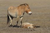 stock photo of steppes  - mare and foal Przewalski