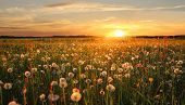 stock photo of hayfield  - withered dandelion hayfield  - JPG