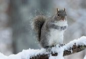 Постер, плакат: Wintertime Squirrel