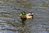 pic of duck pond  - Wild duck on the Pond - JPG