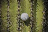 stock photo of cactus  - Wild golf shot ball caught in spiky Saguaro cactus tree - JPG