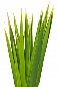 picture of bulrushes  - Green Leaves of Reed isolated on white background and clipping path - JPG