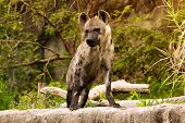 picture of hyenas  - The spotted hyena in a wild nature - JPG
