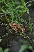 picture of thumbelina  - Toad frog in the water. Amphibian. Early spring