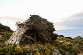foto of juniper-tree  - Gnarled Juniper Tree Shaped By The Wind at El Sabinar - JPG