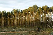picture of eucalyptus trees  - Eucalyptus plantation and excavator - JPG