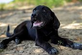pic of labradors  - A black Labrador Retriever puppy lying outside, mouth open as if in mid-bark or about to bark. ** Note: Shallow depth of field - JPG