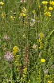 pic of buttercup  - Machair Grassland flowers Frog Orchid Kidney Vetch Lady - JPG