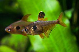 picture of freshwater fish  - Aquarium fish - JPG