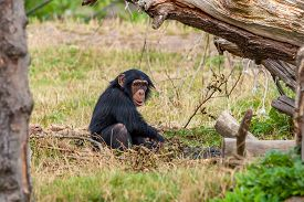 image of chimp  - Young chimp playing around in the nature - JPG