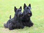 picture of scottish terrier  - The portrait of two Scottish Terrier dogs in the garden - JPG
