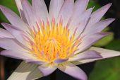 stock photo of pollen  - closeup beautiful white water lily pollen in the garden - JPG