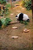 stock photo of panda  - Panda bear in the zoo of Ocean Park in Hong Kong - JPG