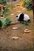foto of zoo  - Panda bear in the zoo of Ocean Park in Hong Kong - JPG