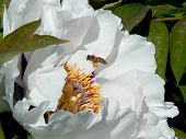 stock photo of pollen  - A bee collecting pollen from the white peony  - JPG