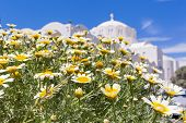 pic of chamomile  - Field of chamomile and white building of the Church Greece Santorini - JPG