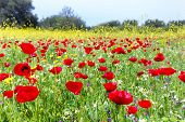 pic of poppy flower  - Field of red poppies with yellow rapeseed flowers in meadow. In this pasture you see outstanding colors of red and yellow in the fresh grass. A colorful image in springtime or early summer.