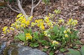 picture of cowslip  - Yellow primrose flowers blossoming in spring closeup - JPG