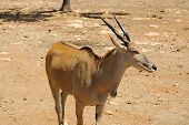image of antelope horn  - Picture of antelope in the safari zoo - JPG