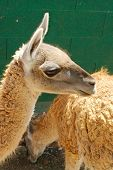 stock photo of lamas  - Picture of small lama with orange fur - JPG