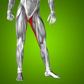 pic of human muscle  - Concept or conceptual 3D gracilis human upper leg anatomy or anatomical and muscle on green gradient background - JPG