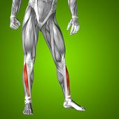 stock photo of human muscle  - Concept or conceptual 3D human lower leg anatomy or anatomical and muscle on green gradient background - JPG