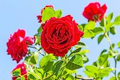 foto of climbing roses  - Red climbing roses against a blue sky backlit