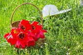 image of panama hat  - Wicker basket with red tulips and white hat on the green grass in the garden on a sunny spring day backlit - JPG