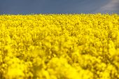 picture of turnip greens  - field of rapeseed - plant for green energy