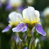 stock photo of purple iris  - Close - JPG