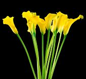 stock photo of calla  - Photo of a bunch of callas on black background - JPG