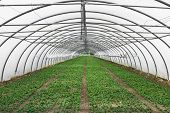 pic of greenhouse  - Cultivation of lettuce in a large greenhouse country - JPG
