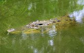 stock photo of crocodile  - dangerous crocodile swimming under the murky water - JPG